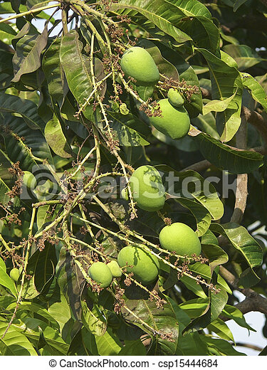 Alphonso mangoes are hanging on a tree. Mangifera indica L. - Anacardiaceae, Alphonso mango. - csp15444684