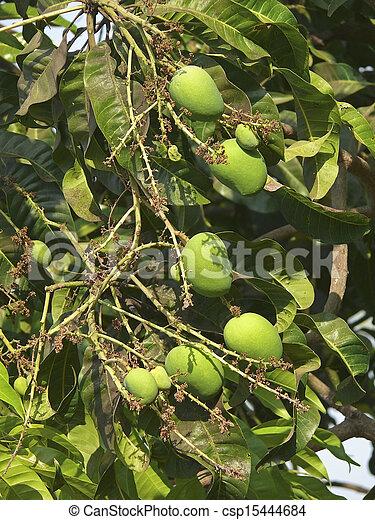 Alphonso mangoes are hanging on a tree. Mangifera indica L. - Anacardiaceae, Alphonso mango. - csp15444684