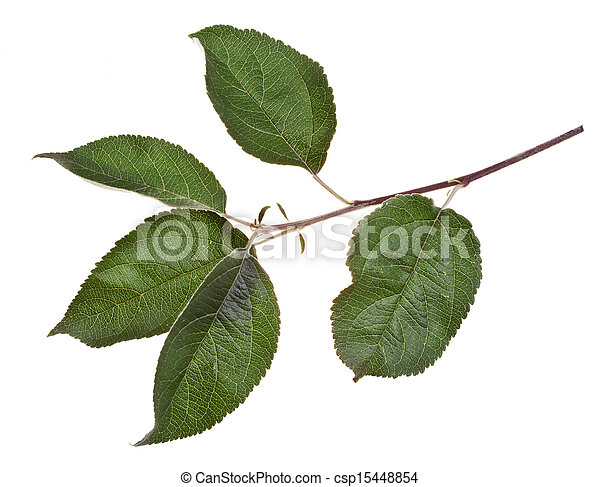 Apple Tree Branch With Green