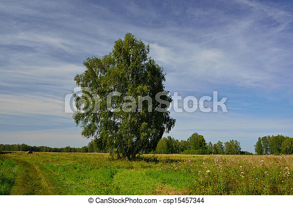 Rural landscape with birch - csp15457344