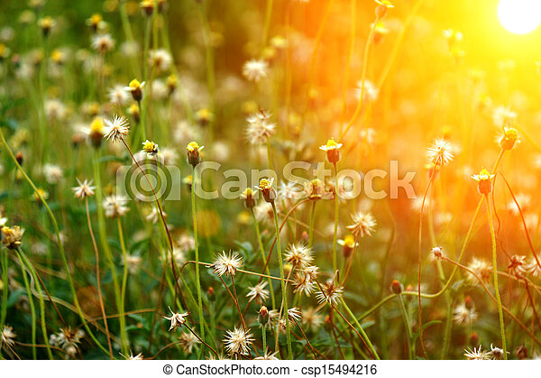 Mexican daisy (Tridax procumbens L.) - csp15494216