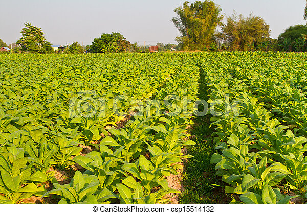 photos de ferme plante tabac tobacco plante dans les ferme csp15514132 recherchez. Black Bedroom Furniture Sets. Home Design Ideas