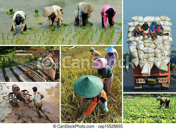 Rice field agriculture collage - csp15528655
