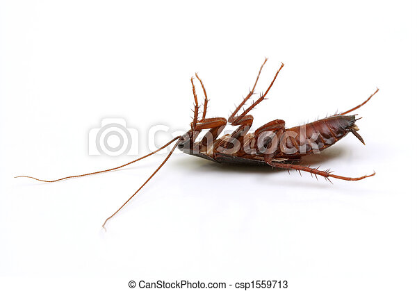 Dead cockroach on white background - csp1559713