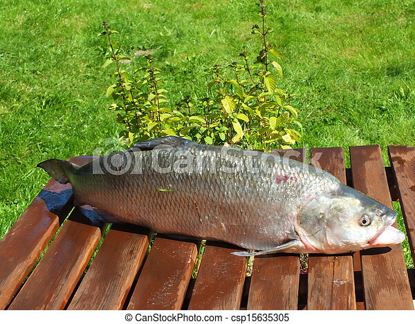 Stock photography of aspius aspius very large predatory for Predatory freshwater fish