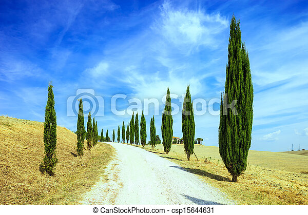 Cypress Trees rows and a white road rural landscape in val d Orcia land near Siena, Tuscany, Italy, Europe. - csp15644631