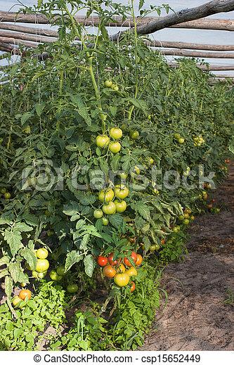 stock foto von tomaten gew chshaus tomaten wachsen auf gew chshaus csp15652449. Black Bedroom Furniture Sets. Home Design Ideas
