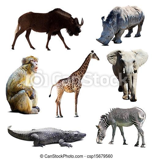 állhatatos, állatok, afrikai - csp15679560