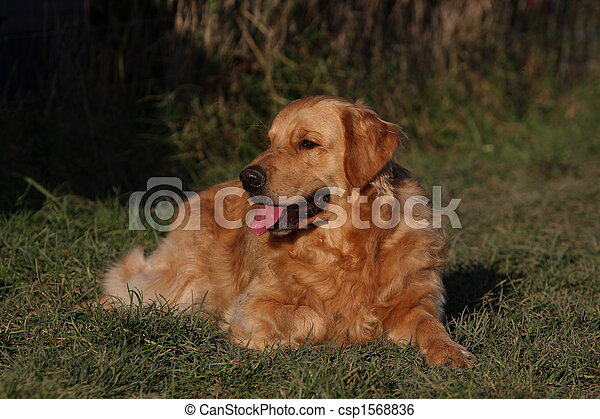 Golden Retriever - csp1568836