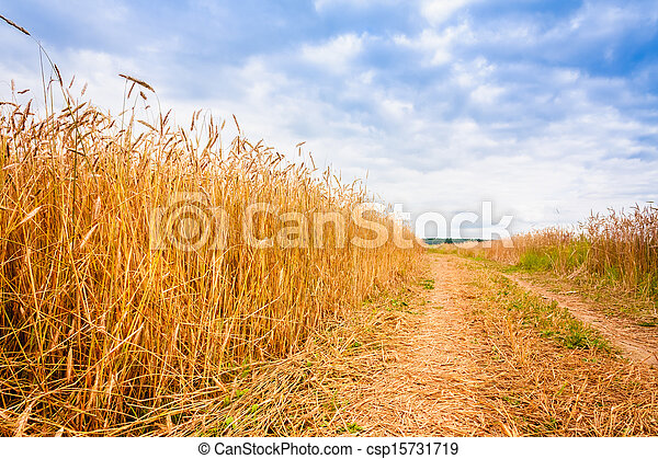Rural Countryside Road Through Fields With Wheat - csp15731719