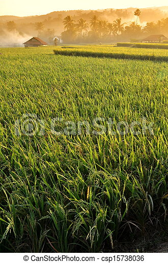 Agriculture rice field Landscape - csp15738036