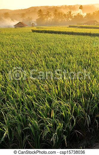 Agriculture rice field Landscape - csp15738036
