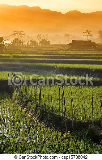 Agriculture rice field Landscape - csp15738042