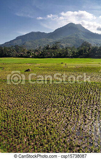 Agriculture rice field Landscape - csp15738087