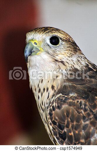Falcon - csp1574949