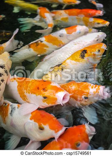 Image de carpe koi poissons tang carpe koi for Carpe koi a acheter