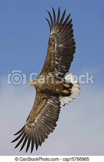 White-tailed sea-eagle, Haliaeetus albicilla - csp15766965