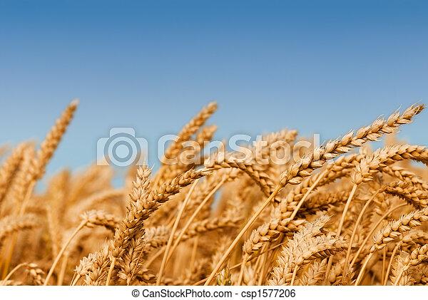 Golden wheat field - csp1577206