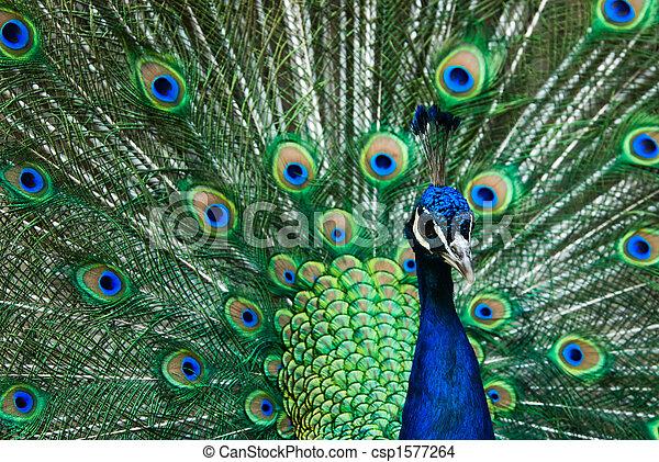 beautiful male indian peacock