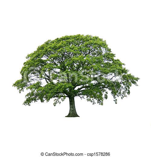 夏天, 樹,  1, 橡木 - csp1578286