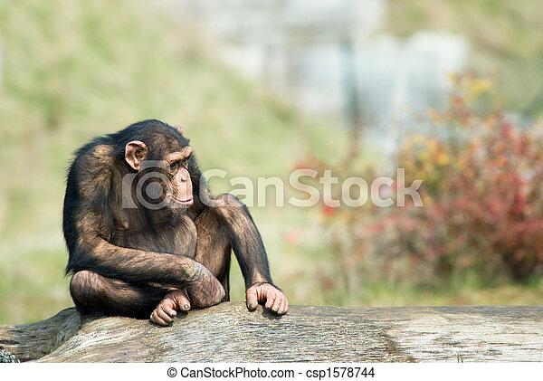 かわいい, チンパンジー - csp1578744