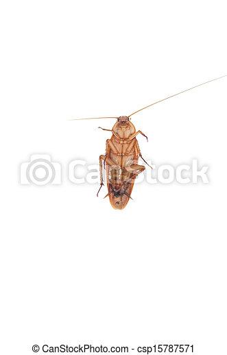 image de blanc cafard fond cockroach blanc fond csp15787571 recherchez des photographies. Black Bedroom Furniture Sets. Home Design Ideas
