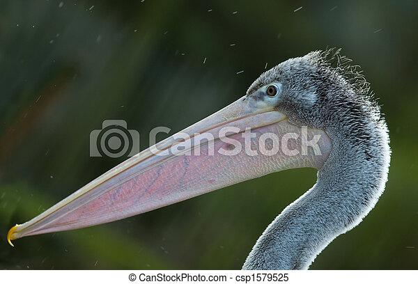 pelican - csp1579525