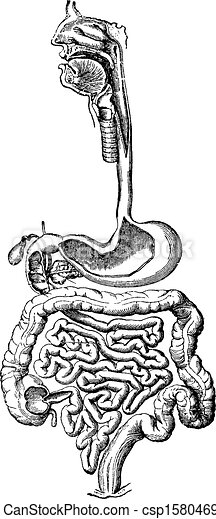 Human Digestive Tract 32808082 besides FROG 20DISSECTION 20HOMEPAGE besides Generateexhibit additionally Function Of The Large Intestine moreover L2 Physio Gastric Secretion Its Regulation. on large picture of digestive system