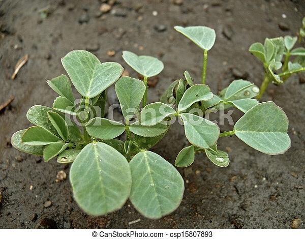 Banque de photographies de plante trigonella feuilles for Plante 9 feuilles