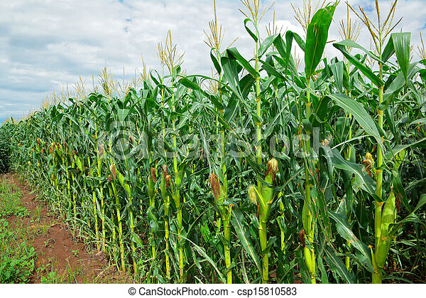 maize field clip art