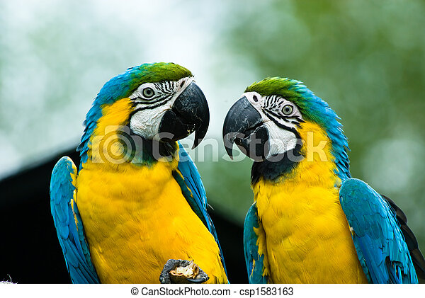 blue-and-yellow macaw - csp1583163