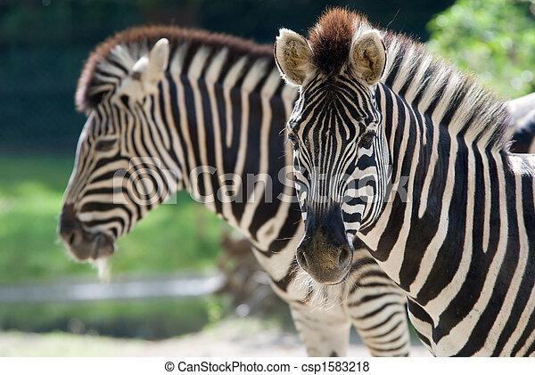 closeup of a beautiful zebra