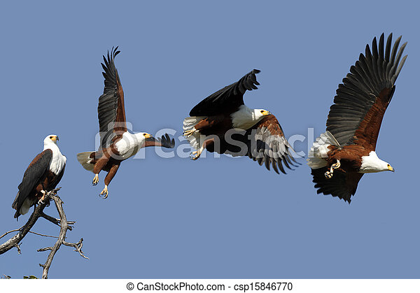 African Fish Eagle in Chobe National Park in Botswana - csp15846770
