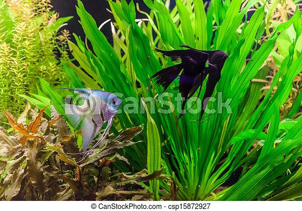 stock foto von fische s wasser aquarium scalare pterophyllum a csp15872927 suchen. Black Bedroom Furniture Sets. Home Design Ideas