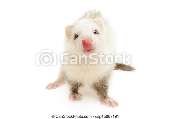 White Ferret  - csp15887191