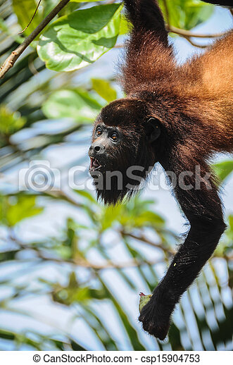Funny Monkey eating in Tayrona National Park, Colombia. South America. Wildlife. - csp15904753