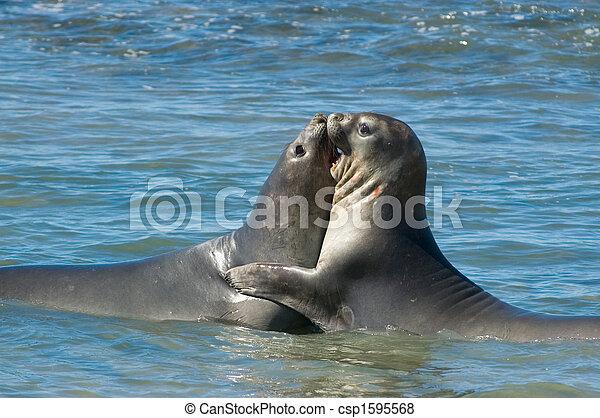 Elephant seal in Peninsula Valdes, Patagonia. - csp1595568