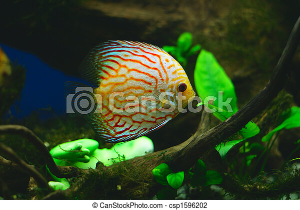 Orange discus fish in aquarium - csp1596202