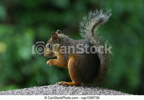Japanese gray squirrel - csp1599736