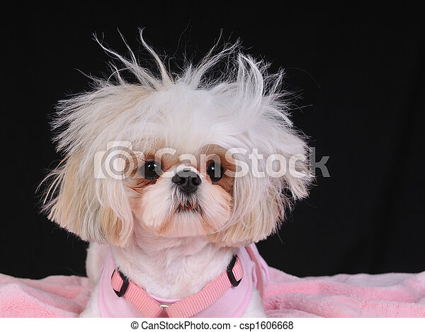 Shih Tzu Dog Bad Hair Day - csp1606668