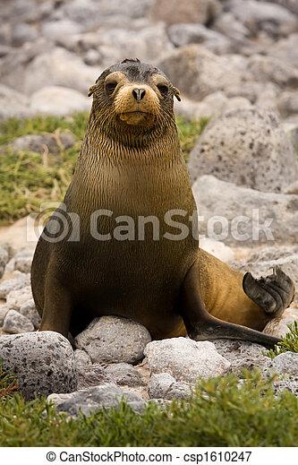 Juvenile Galapagos sea lion (Zalophus wollebaeki) - csp1610247