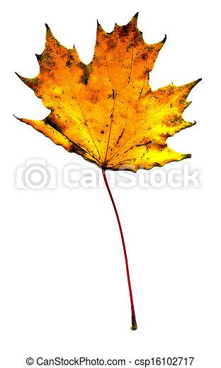 Maple fall leaf - csp16102717