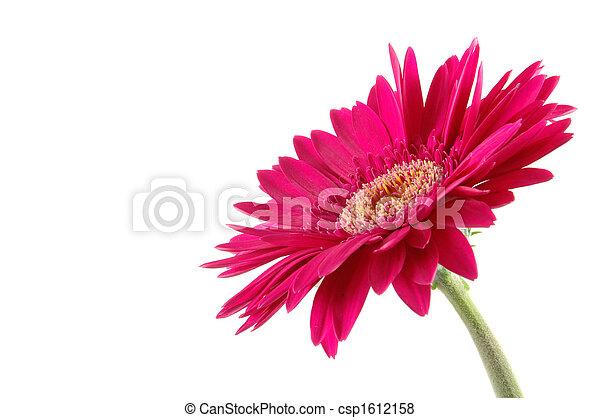 Pink gerber daisy - csp1612158