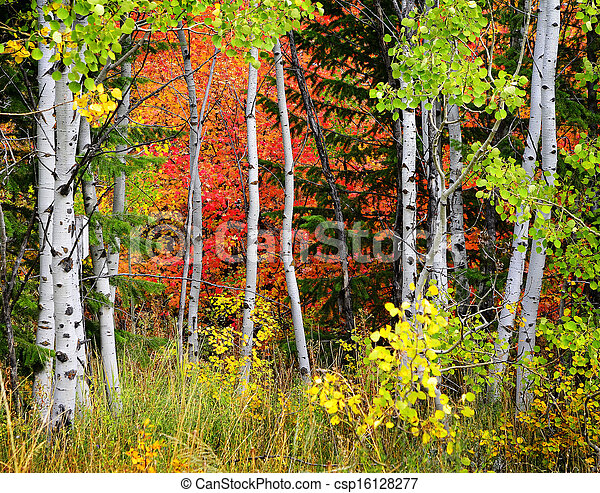 Forest of Pine, Aspen and Pine Trees in Fall - csp16128277