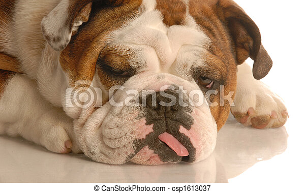 english bulldog with silly expression and tongue hanging out the side ...