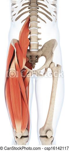 The upper leg musculature - csp16142117
