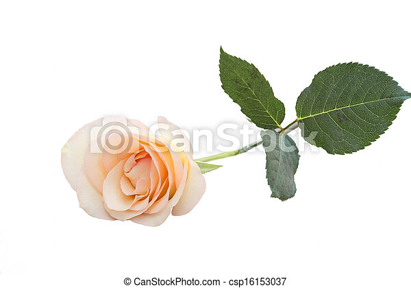 stock fotos von ledig sch ne romantische rosa ros ledig sch ne csp16153037 suchen. Black Bedroom Furniture Sets. Home Design Ideas