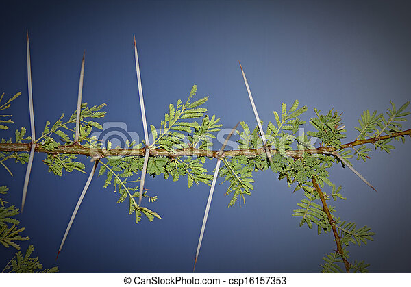 Thorns of Acacia Nilotica - csp16157353