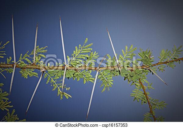 Thorns of Acacia Nilotica - csp16157353