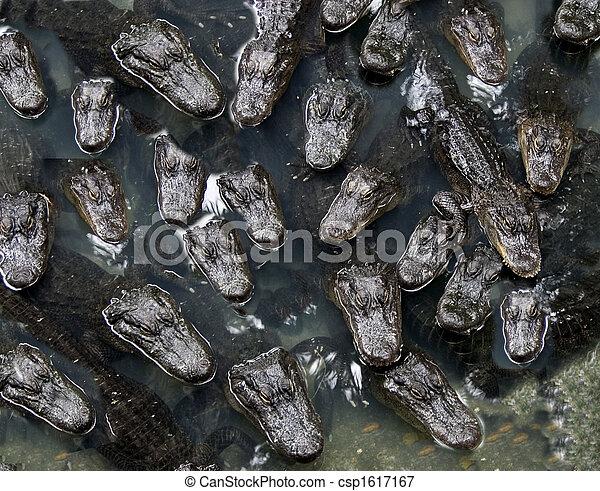 Alligators - csp1617167